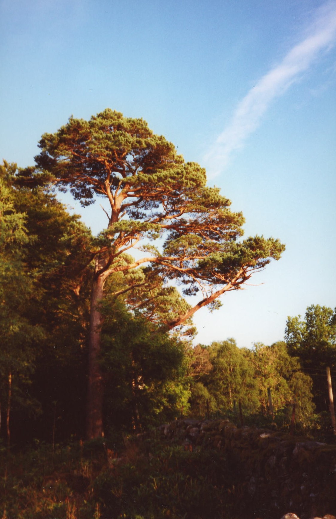 Scot's Pine at Policy Gate