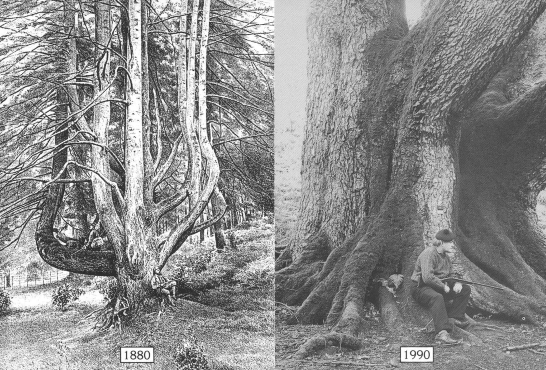 Conifer in Pinetum
