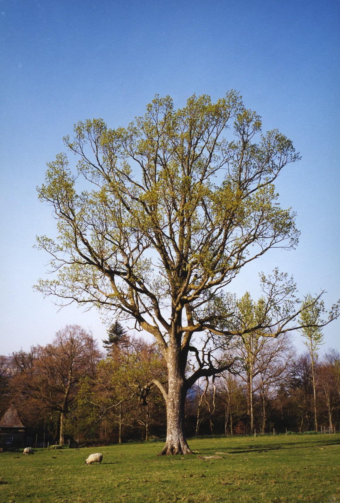 Oak in Dalegate