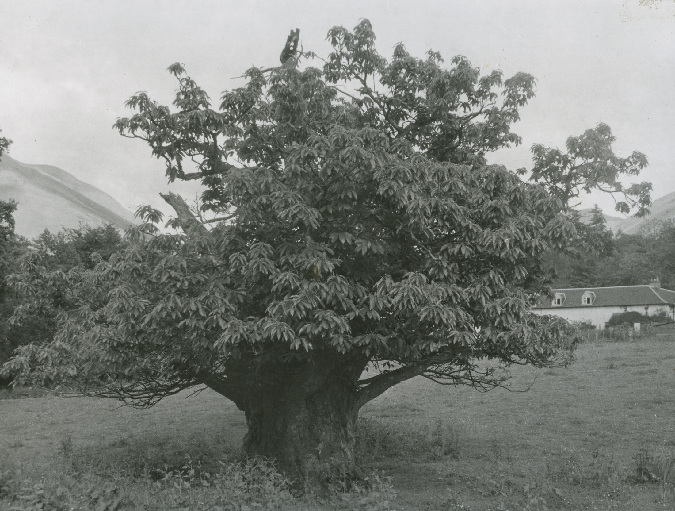 Chestnut Tree in Stable Field