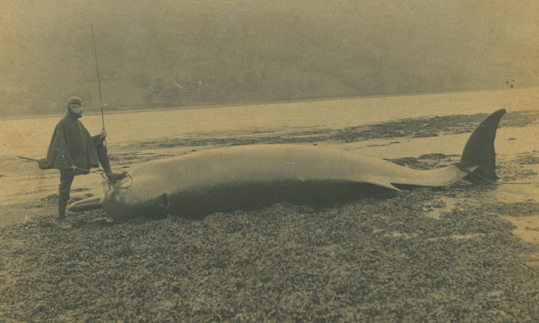 Whale on shore below Ardkinglas