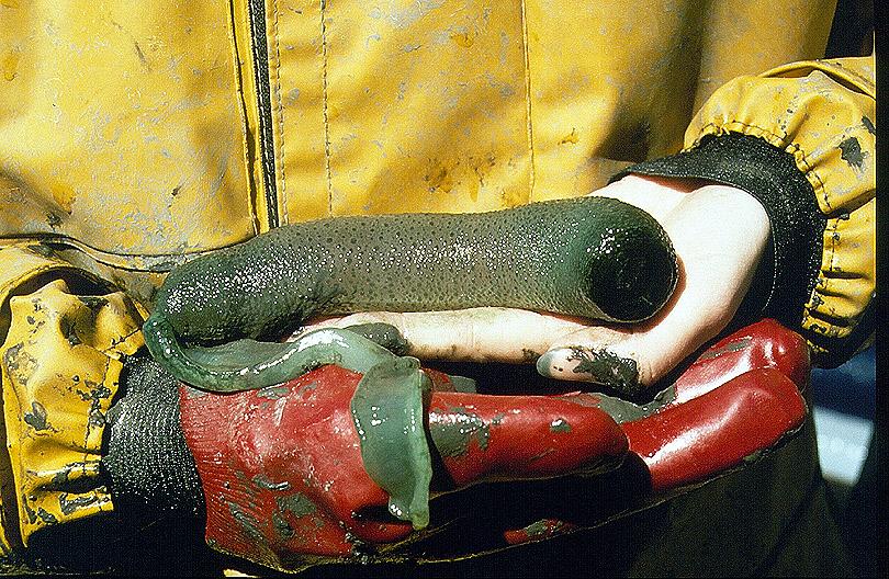 Spoon Worm