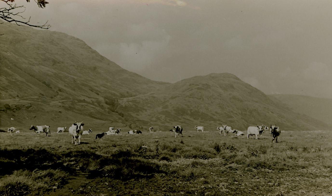 Dairy Cows, Achadunan