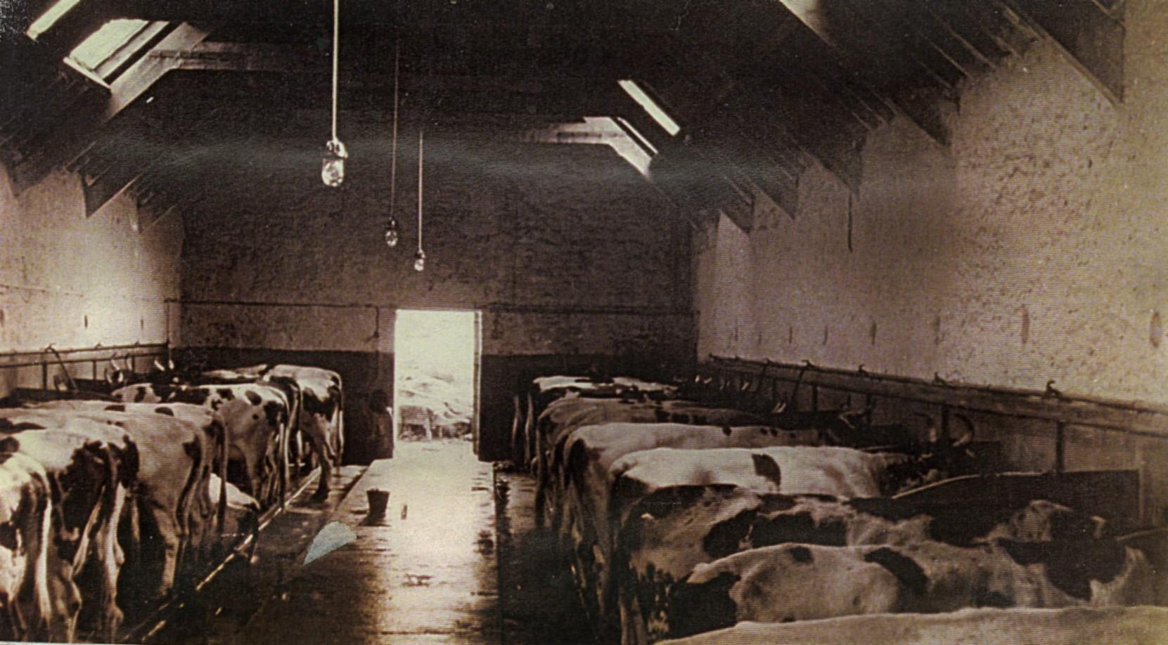 Cows at  Achadunan